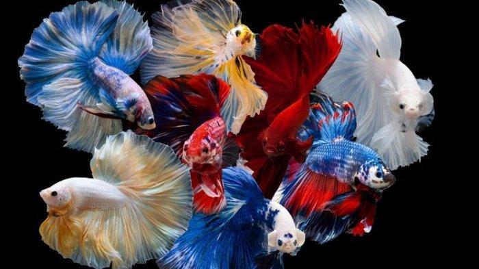 5 Makanan Agar Warna Ikan Cupang Lebih Cerah