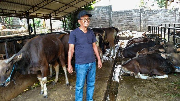 Kisah Indra Suardi yang 7 Kali Pasok Sapi Kurban Jokowi di Jambi