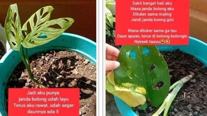 Viral Kehilangan Bunga Janda Bolong Wanita Ini Menangis Kembangnya Ditukar Dengan Duda Bolong Tribun Jambi
