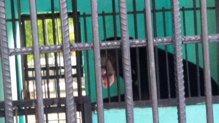 BREAKING NEWS Kawanan Beruang Masuk ke Desa Talang Paruh, Kandang Ayam dirusak