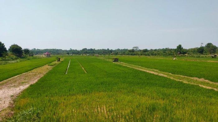 Kabupaten Batanghari 2021 Targetkan Tanam Padi Seluas 8.707 Hektare, Berikut Capaiannya