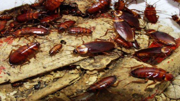 Cara Mengusir Kecoa Dengan Bahan-bahan Alami, Pakai Timun Atau Daun Salam
