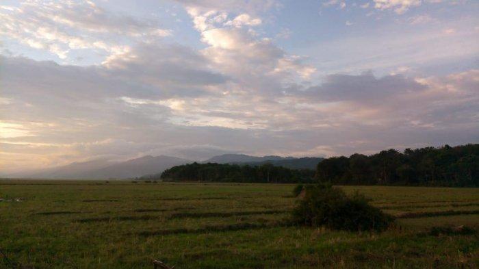 Musim Kemarau, Petani di Kerinci Tunda Masa Tanam, Sawah di 4 Kecamatan Ini Kekeringan