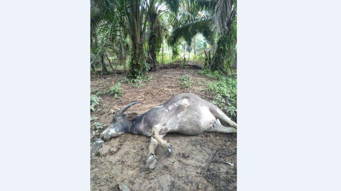 Maling Sadis, Warga Tebo Resah Kerbaunya Diracun lalu Langsung Dipotong di Tempat