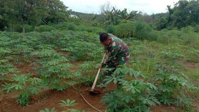 Tingkatkan Ketahanan Pangan di Sarolangun, Kodim 0420/Sarko Jaga Produksi Pertanian di Wilayahnya