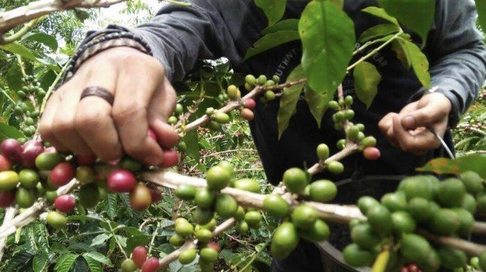 UPDATE Daftar Harga Komoditi Perkebunan Provinsi Jambi, Mulai dari Pinang, Kelapa, Hingga Kakao