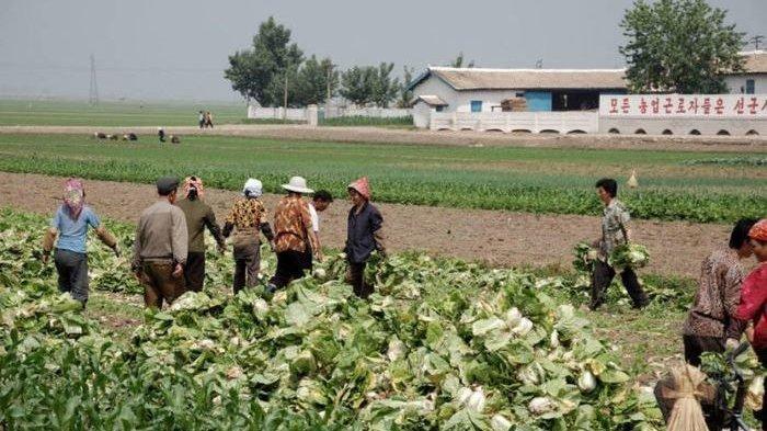 Situasi Pangan di Korea Utara Memburuk, Kim Jong Un Perintahkan Ibu Rumah Tangga Kerja di Sawah