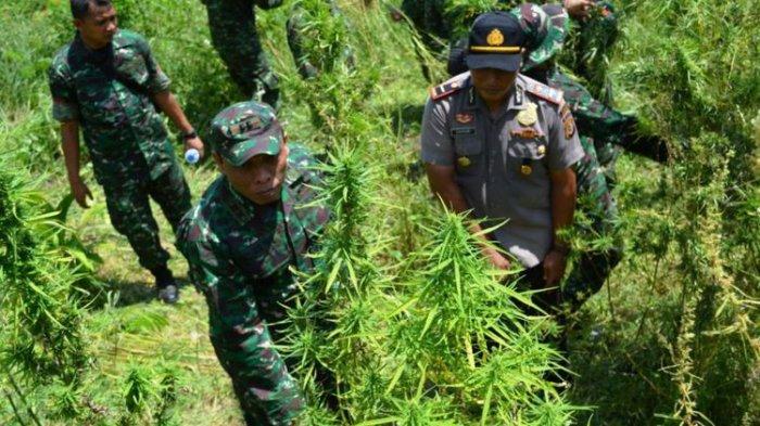 Dua Hari Menyisir Hutan, Polres Kerinci Temukan 2 Hektare Ladang Ganja, Ratusan Batang Siap Panen