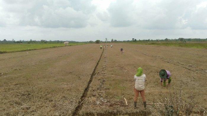 Akibat Banjir, Hampir Seribu Hektar Lahan Pertanian di Tanjab Timur Mengalami Puso