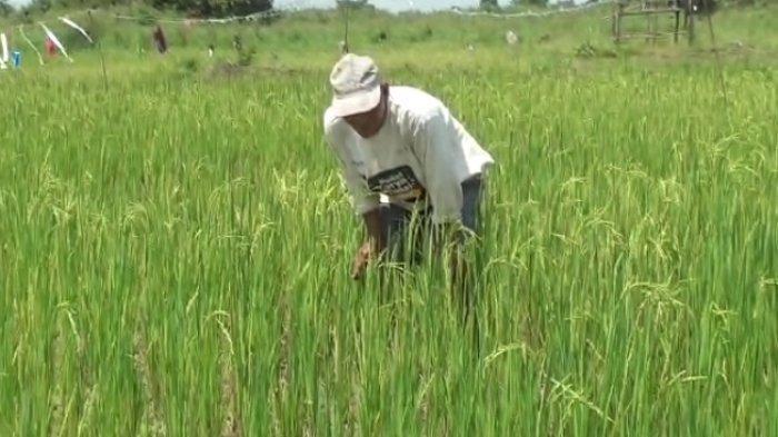 600 Hektare Lahan Pertanian dan Sawah Masyarakat Kumpe Ulu akan Dinormalisasi Tahun Ini