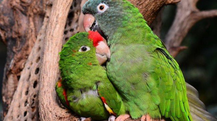 Fakta Tentang Lovebirds Burung Beo Terkecil: Tak Bisa Tirukan Suara Manusia