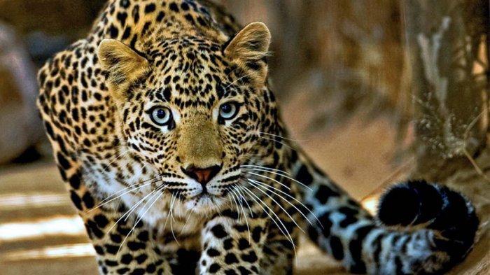 KABAR MENGEJUTKAN! Tertular Petugas Kebun Binatang, 3 Macan Tutul Positif Covid-19