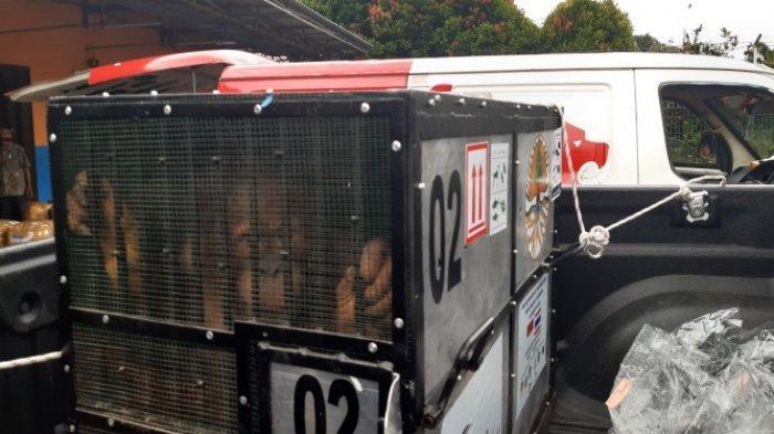 Lima Tahun di Thailand Jadi Korban Perdagangan Ilegal, Dua Ekor Orangutan Sumatera Tiba di Jambi