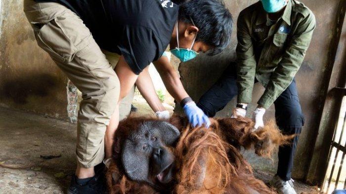 Dua Orangutan Berhasil Diselamatkan Tim BKSDA Dari Pemilik Yang Tak Memiliki Izin