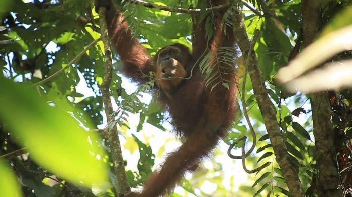 Orangutan Sun Ghou Kong Dilepasliarkan ke Kawasan Taman Nasional Bukit Tiga Puluh
