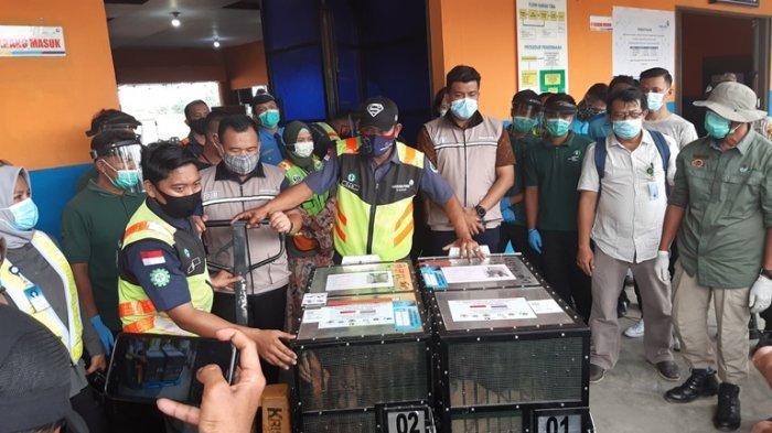 Lima tahun berada di Tahailand, dua ekor Orangutan Sumatera (Pongo Ahelli) Ung Aing dan Natalee akhirnya tiba di Jambi, pada Jumat (18/12/2020).
