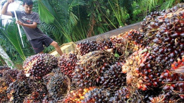 Imbas Kurangnya Pabrik Kelapa Sawit Tauke Kejar Harga Tertinggi