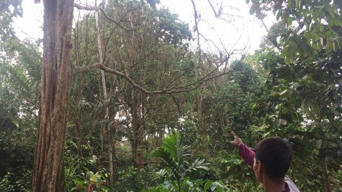 Ratusan Pohon Duku di Kumpeh Ulu Mati Mendadak, Awalnya Sehat lalu Mengering