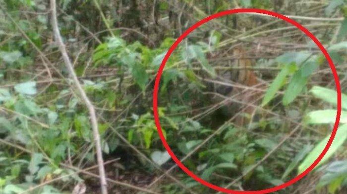 Warga di Gunung Raya Kerinci Resah, Petani Mengaku Beberapa Kali Melihat Harimau