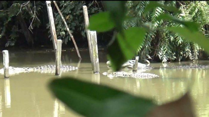 Penangkaran Buaya di Sungai Gelam Tak Terurus dan Meresahkan Warga, Ini Rencana Pemilik