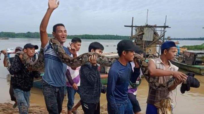 Warga Sekernan Tangkap Ular Piton Sepanjang Tujuh Meter, Sudah Mangsa Dua Ekor Kambing Warga