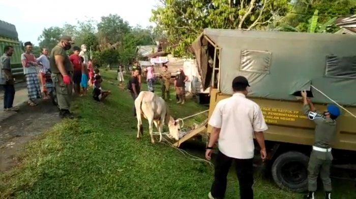 Razia Ternak Ternak Berkeliaran di Tebo, Sapol PP Libatkan Anggota TNI