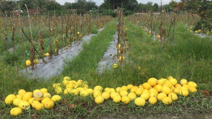 Budidaya Melon Golden di Batanghari, Petani Atasi Gagal Panen dengan Insektisida