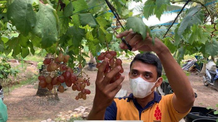 Media Tanam Anggur Agar Berhasil Berbuah, Siapkan Tanah yang Mampu Mengontrol Kelebihan Air
