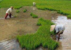 Petani di daerah Kecamatan Senyerang, Kabupaten Tanjabbar yang mulai menanam padi, Minggu (8/11/2020)