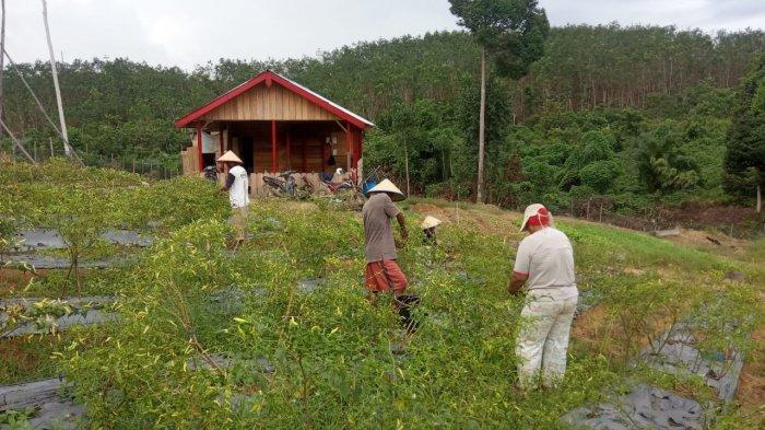 Buah Manis Kemitraan Petani Tebo dan Perusahaan HTI, 11 Tahun Mengelola