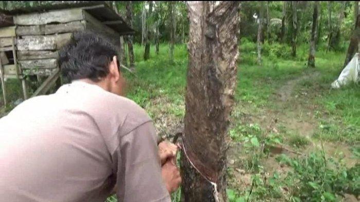 Harga Getah Karet Mulai Membaik, Petani di Batanghari Harapkan Bantuan Bibit dari Pemerintah