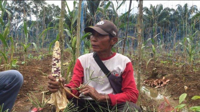 Supriyadi (55) petani jagung di Kelurahan Teratai RT 12 Kecamatan Muara Bulian, Jumat (1/1/2021). Perayaan Malam Tahun Baru Dilarang Petani Jagung di Batanghari Keluhkan Hasil Penjualan Berkurang