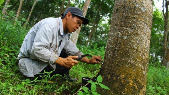 Musim Penghujan, Petani Karet di Tebo Pilih Berkebun dan ke Sawah