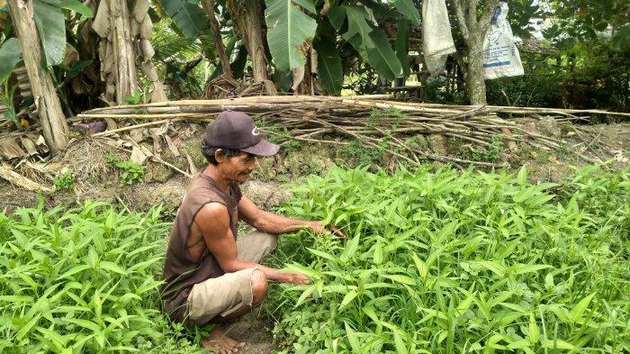Musim Hujan, Petani Sayuran di Paal Merah Kota Jambi Malah Meraup Untung, Kok Bisa?