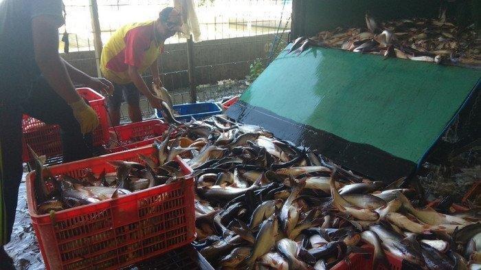 Produksi Budidaya Ikan Patin di Jambi Tembus 3,5 Ton Sehari, Tembus Pasar Sumsel hingga Riau