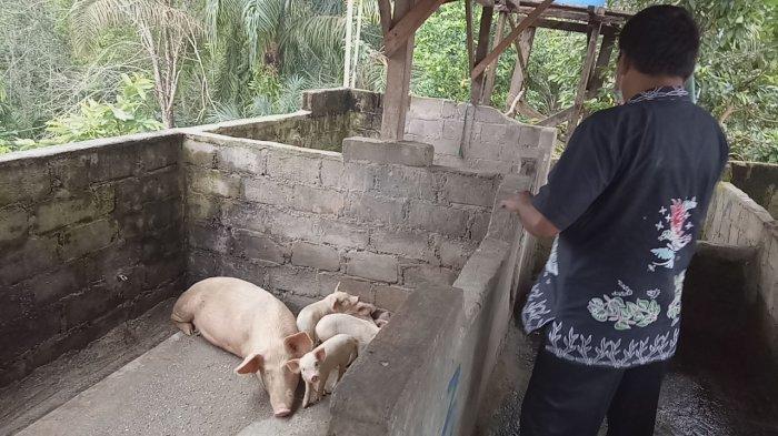 Warga Dusun Rantau Ikil Bungo Resah, Ada Peternakan Babi di Sekitar Permukiman