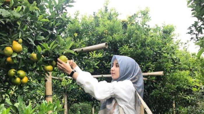 Berwisata Agrowisata Jeruk Gerga Kerinci Yang Menarik, Langsung Petik Buah di Kebunnya