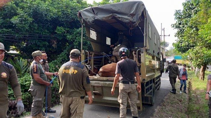 BREAKING NEWS Satpol PP Tangkap dan Angkut Ternak yang Berkeliaran di Kota Tebo