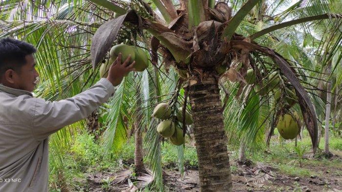 Ratusan Pohon Kelapa Dalam Warga Desa Alang Alang Mati Akibat Tanggul Jebol