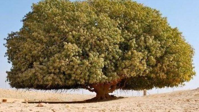 Mengenal Pohon Sahabi Berusia 1400 Tahun, Sahabat Nabi Muhammad yang Masih Hidup Hingga Saat Ini