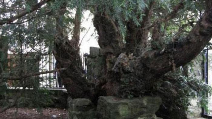 Memakan Korban 3 Orang, Pohon Usia Ratusan Tahun Berdiri Misterius Setelah Tumbang Dihempas Angin