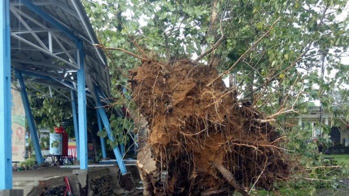 Hujan Disertai Angin Akibatkan Pohon Besar Tumbang di Terminal Alam Barajo Kota Jambi