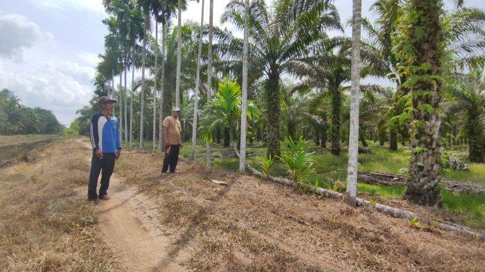 Ratusan Hektare Perkebunan Warga Tanjabtim Terancam Mati, Dampak Tak Normalnya Aliran Sungai Lambur