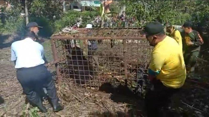 Beruang Madu di Sungai Penuh Berhasil Ditangkap Petugas BKSDA