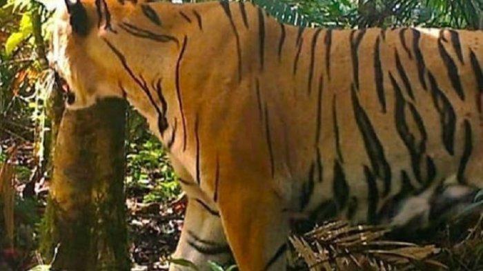 Teror Harimau Masih Berlanjut, Belasan Kambing Warga Tanjab Timur Jadi Korban