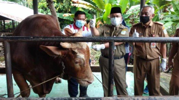 Hewan Kurban Keadaan Sehat di Kota Jambi Mulai Diberi Label, Sapi Presiden Jokowi yang Perdana