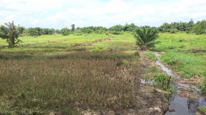Penampakan lahan padi sawah di Batanghari selepas terendam banjir. Puluhan hektare dawah di Batanghari terendam banjir, beruntung tak ada tanaman padi yang gagal.