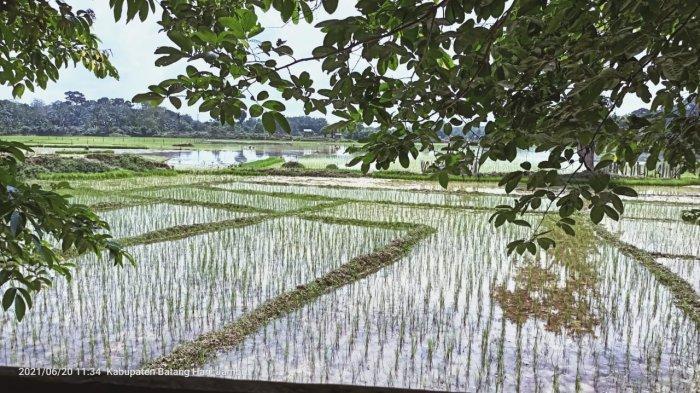 Bantu Petani di Batanghari, Pemerintah Telah Salurkan 101,5 Ton Benih Padi