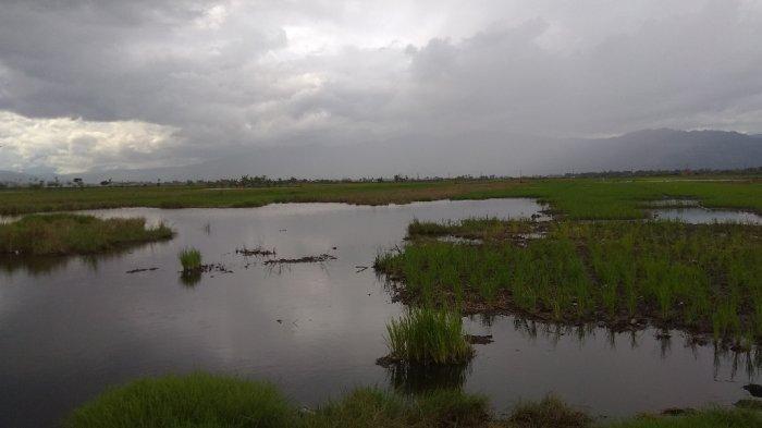 Ratusan Hektar Sawah di Kota Sungai Penuh Tak Bisa Digarap, Kenapa?