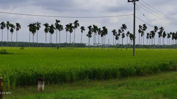 1.000 Hektar Lahan Sawah di Bungo Siap Tanam, TPHBun Siapkan 16 ton Benih